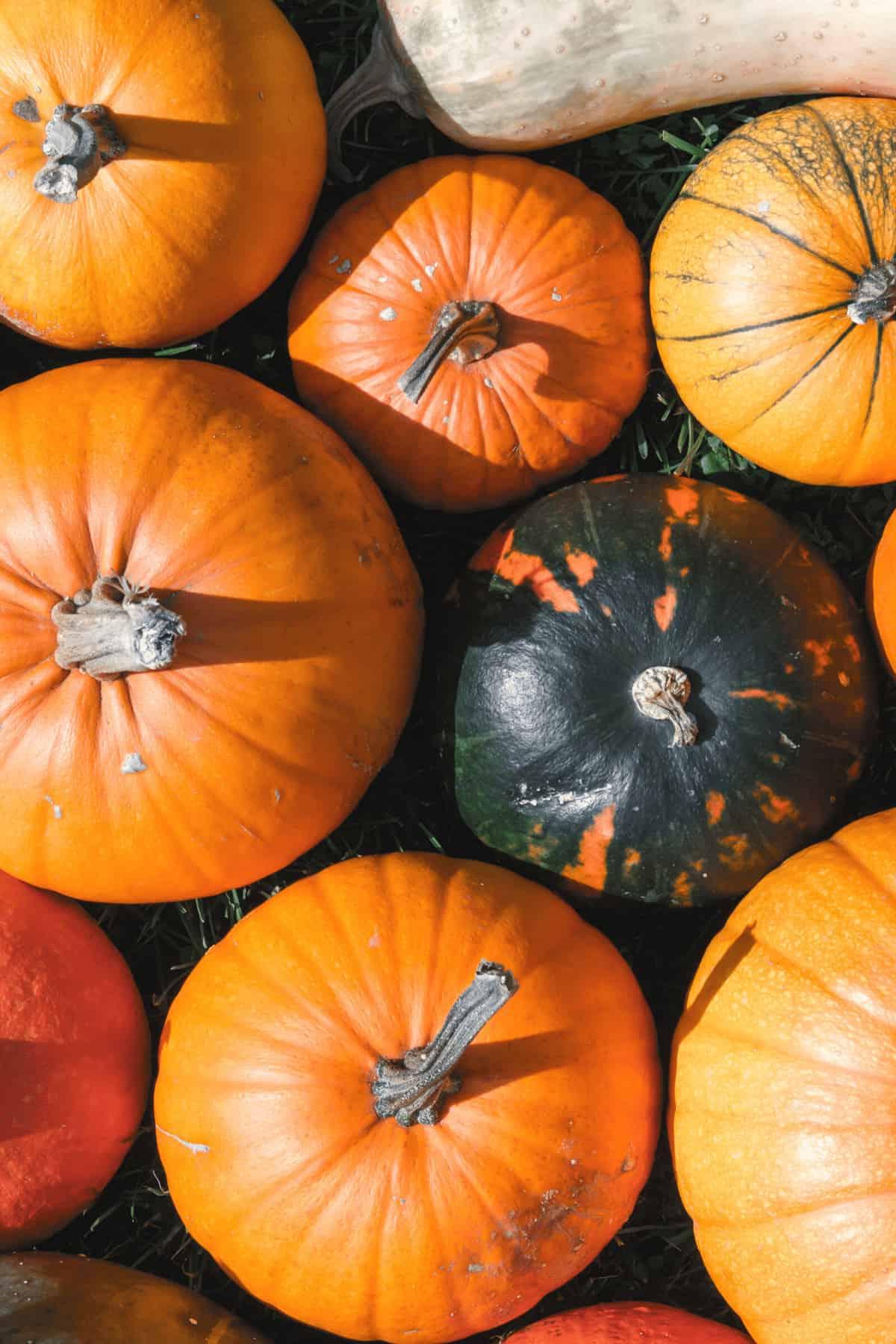 Pumpkin type for puree